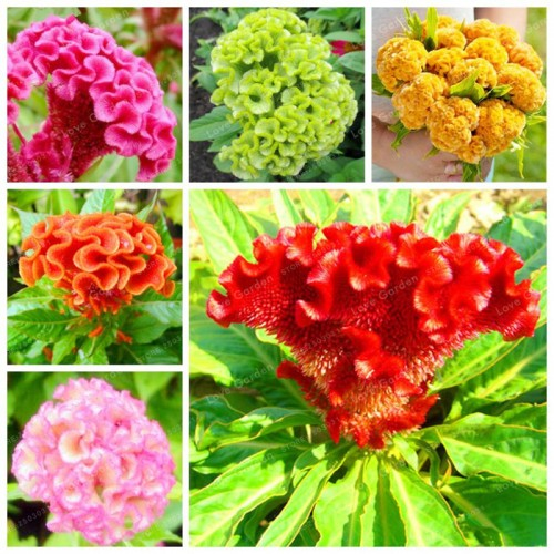 Pack of 80 Seeds Cockscomb Celosia Cristata Bonsai Rare Species Ornamental Flowers Mixed Colors