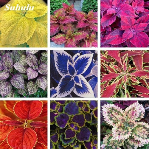 20Seeds/Bag Coleus Blumei Rainbow Mix Color Flower Bonsai for Home Garden Indoor Bonsai Plant Coleus Boleus Tohum