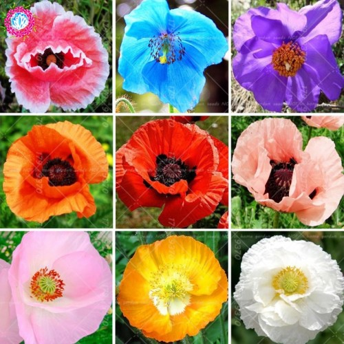30seeds/bag Mixed Colors Poppy Bonsai Flower Rare Papaver Orientale Potted Plants For Home Garden Planting