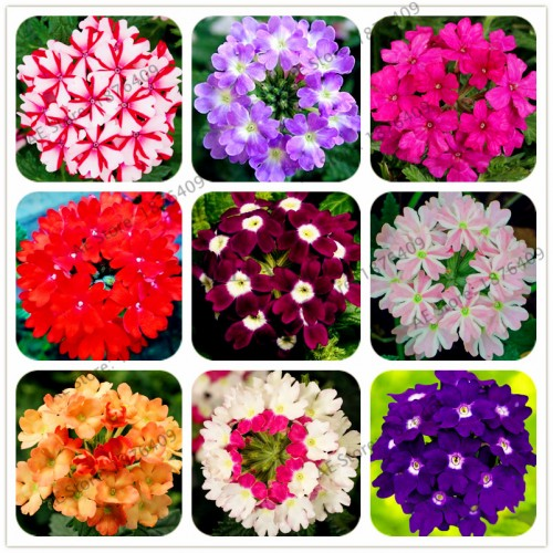 20Seeds/Bag Multiple Color Verbena Bonsai Perennial Verbena Hybrida Garden Hydrangea Verbena Balcony Ornamental Flowers