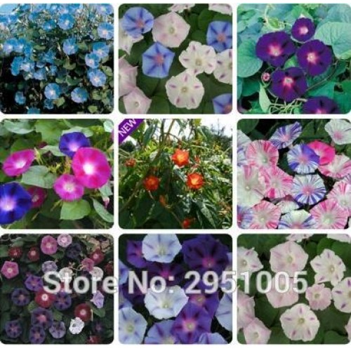 15pcs/Bag Mixed Morning Glory Ipomoea Purpurea Courtyard Balcony Potted Flower Home Garden