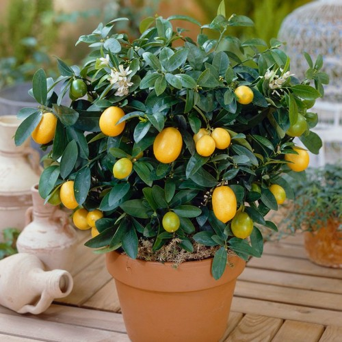 20 Dwarf Lemon Tree Seeds Outdoor Home Garden Bonsai Plant