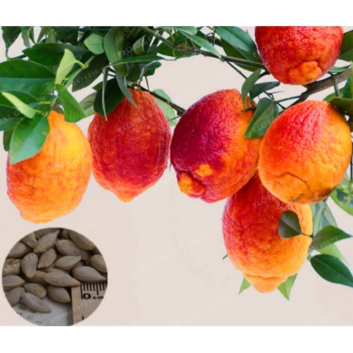 30 PCS/BAG Red Blood Orange Organic Fruit Plant for Home Garden