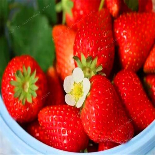 20 pcs Giant Thailand Big Strawberry Bonsai Super Big and Red Strawberry Fruit Delicious Plants