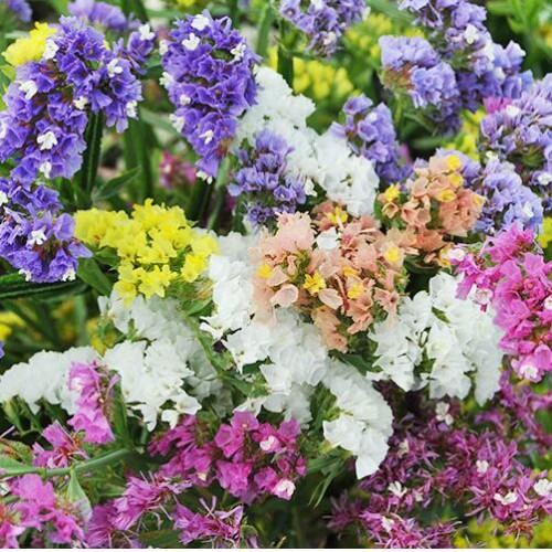 20 Seeds/Bag Statice (Limonium Sinuatum) Flower Bonsai For Home Garden