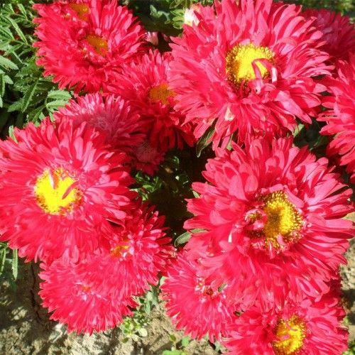 A Pack 20Seeds Red Callistephus Chinensis Flower Balcony Potted Bonsai Flower Aster Plant For Home Garden