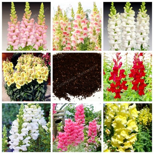 20 Seeds/Bag Antirrhinum Mix Bonsai Snapdragon Flower Bonsai Garden Home Bonsai Potted Plants Planting