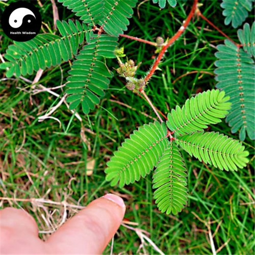 20 Seeds/Bag Tuch Me Not Bonsai Bashfulgrass Semente Plant Mimosa Pudica For Mimosa Grass