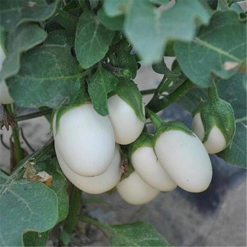 50PCS/BAG White Eggplant Healthy Vegetable Bonsai Plant