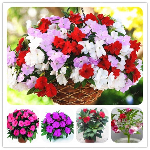 40 Bonsai/Bag Garden Balsam Bonsai Mix Impatiens Balsamina Bonsai Flower For Home Garden Plants