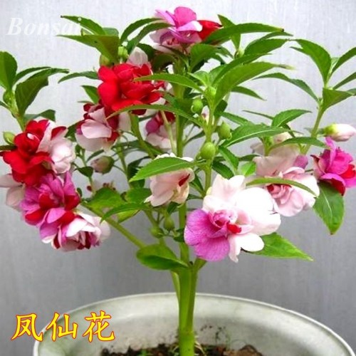 35 Pcs / Bag Impatiens Balsamina Rare Double Mix Bonsai Perennial Flower Bonsai Potted Plant For Home Garden