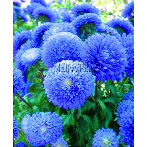 20Seeds/BAG Blue Aster Bonsai Flower Bonsai Flower Plant Rainbow Chrysanthemum Plant Perennial Flowers