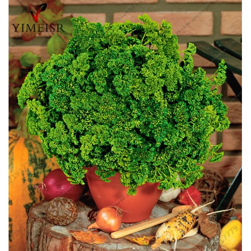 Parsley seeds (Petroselinum crispum) Organic Vegetable seeds  Bonsai plant * herb * spice seed for Home & Garden 100pcs/bag