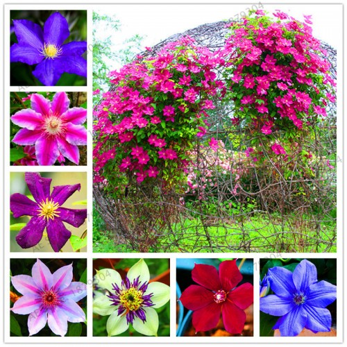 True mixed colors Clematis Bulbs, Clematis Flower flores, Outdoor Plant, Natural Growth, Bonsai Home Garden 20 Seeds