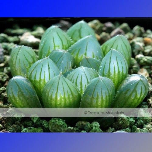 1 Professional Pack approx 5 Seeds Pack Haworthia Obtusa Yamada Black Succulent Seed NF369