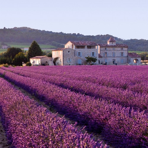 200 French Provence Lavender Seeds Very Fragrant can grow well in Bonsai organic lavender seeds plant