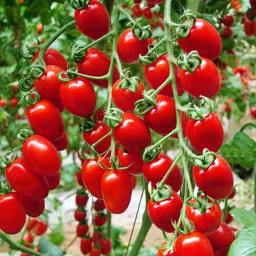 Big promotion Heirloom 100 Red Cherry Tomatoes Vegetable Seeds Easy to manage For Fall Harvest balcony