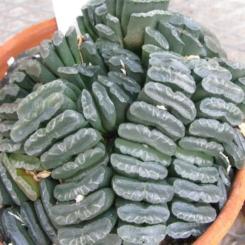 Hot sell original South Africa haworthia truncata seeds Top quality Succulents Fleshy Seeds 2PCS per pack