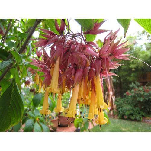 Very Rare Golden Fuchsia Flower Seeds Deppea splendens Seeds Rare Flowering Plant Seed Packet