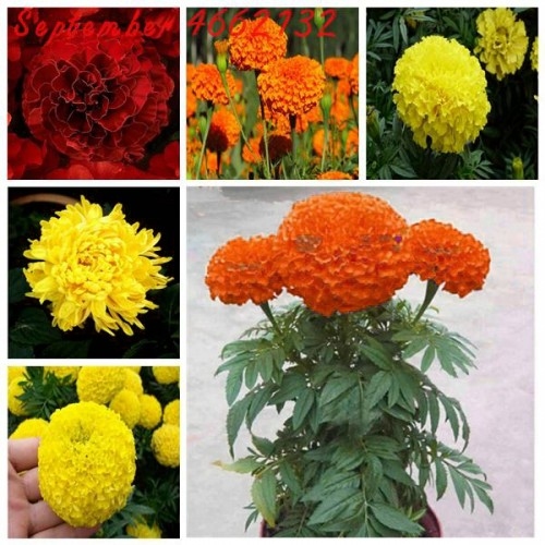 20Seeds/Bag French Marigold Herbs Tagetes Erecta Flower Bonsai Tagetes Flower For Home Garden Plant