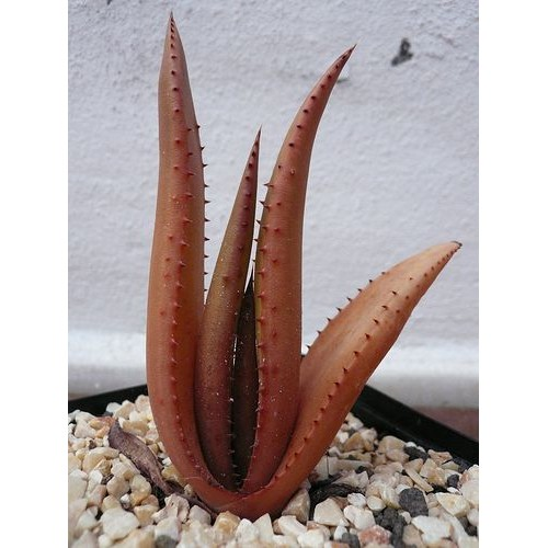 20 Seeds of Aloe Bonsai Houseplants Succulent Aloe Vera Plants