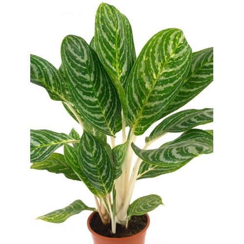 50 Pcs Heirloom Aglaonema Green Taro Seeds Indoor Bonsai Potted Plant
