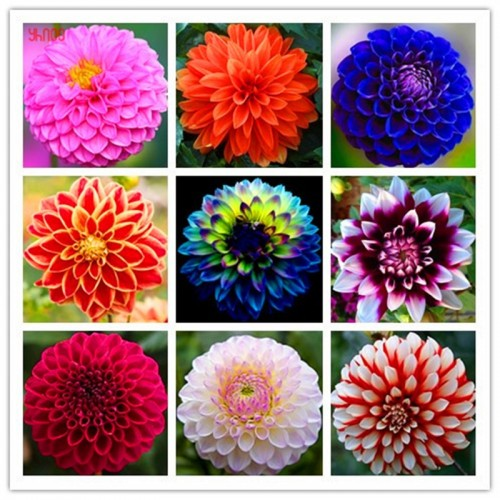 20 Seeds/PACK Dahlia Sami Double Mixed Flower Plants Beautiful And Popular Flower Bonsai Plant for Home Garden