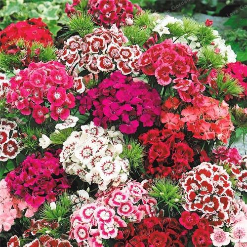 20 seeds/Bag 100% True America Dianthus Bonsai Mixed Colour Sweet William Bonsai Flower Bonsai For Indoor Plants Home Garden