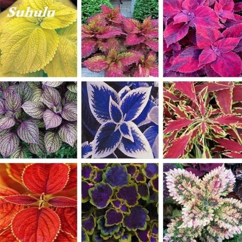 20Seeds/Bag Coleus Blumei Rainbow Mix Color Flower Bonsai for Home Garden Indoor Bonsai Plant Coleus Boleus Tohum