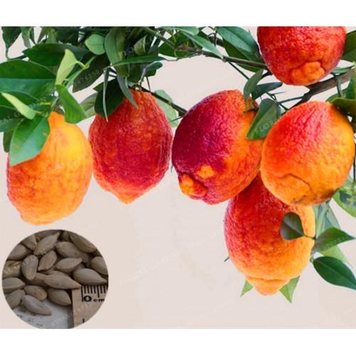 30 PCS/BAG Red Blood Orange Organic Fruit Plant for Home Garden
