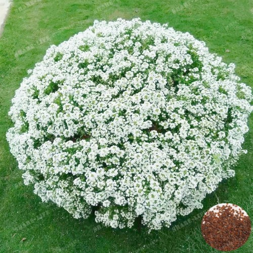 500Pcs/Bag White Sweet Alyssum Bonsai Perennial Beautiful Flowerbed Plants Potted Flowers Aromatic Garden Plants