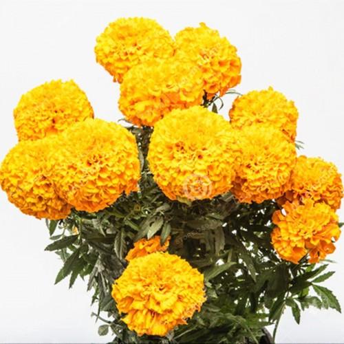 African Marigold French Marigold Herbs Flower Bonsai Flower For Home Garden Plant 20 Seeds