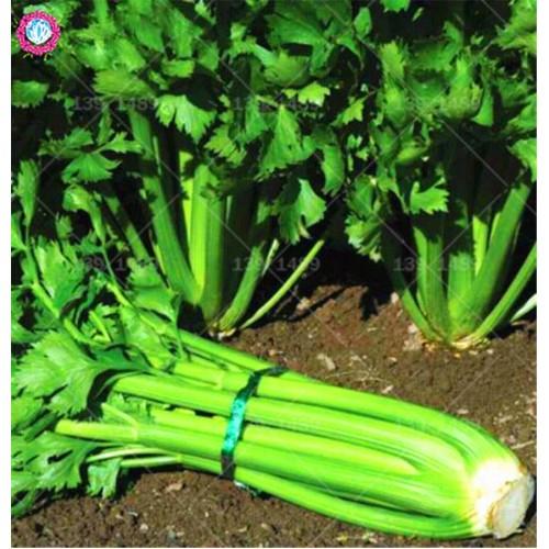 BONSAI 100pcs Green Celery Edible Vegetable Planting Potted for Home Garden Supplies