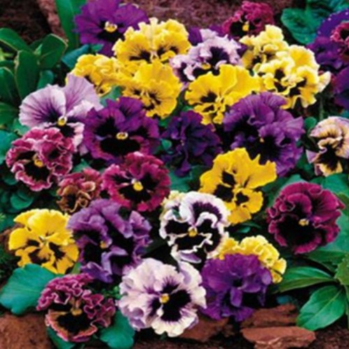 20Seeds/Bag Beautiful Pansy Mix Color Wavy Viola Tricolor Flower Bonsai For DIY Home Garden Decoration