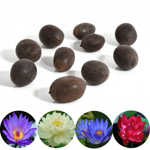 Beautiful Flower Seeds Bonsai Bowl Lotus Aquatic Plants Indoor 10pcs Cultivate Sentiment Lotus Dalcony Water Lily Seeds