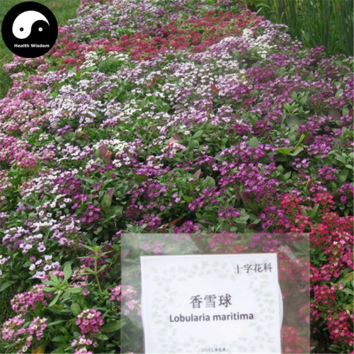 20 Seeds/bag Buy Sweet Alyssum Flower Semente Plant Lobularia Maritima Flower Garden