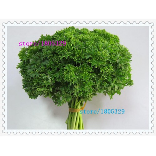 50 Parsley Seeds Vegetable Law Rich Fragrant