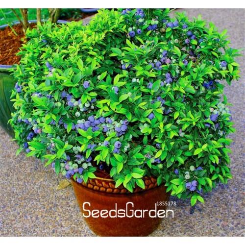 20 Pcs/Pack Blueberry Tree Garden Fruit Blueberry Plantas Potted Bonsai Tree Plant