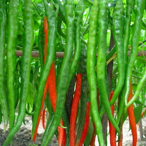 Long Red and Green Chilli Pepper Seeds Ornamental Vegetable Seeds Patio Potted Plant Pepper Seeds - 100 PCS