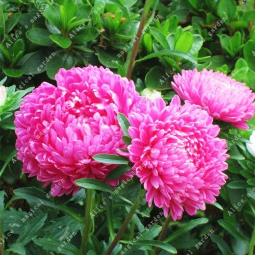 20Pieces/Bag Pink Aster Flower Callistephus Chinese Strong Ability To Reproduce for Home Garden Plant