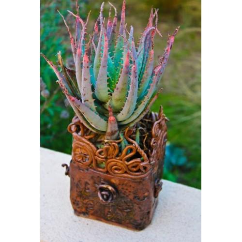 20 Seeds of Aloe Bonsai Houseplants Succulent Aloe Vera Plants