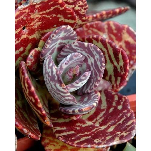 100 Pcs Aloe Seeds Rare Kalanchoe Marmorata Perennial Beautiful Flower Herb Seed Succulent Tree