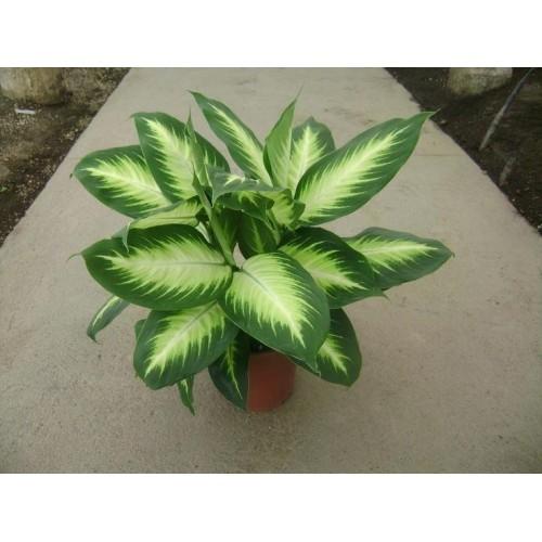 50 Pcs Heirloom Aglaonema Green Taro Seeds Indoor Bonsai Potted Plant