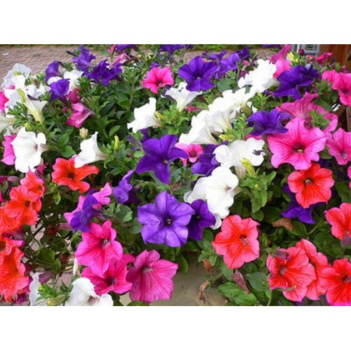100 Seeds of Home Garden Bonsai Petunia Mirage Multi-color