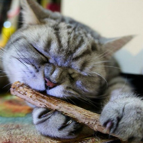 Cat cleaning teeth Pure natural catnip pet molar Toothpaste stick silvervine actinidia fruit